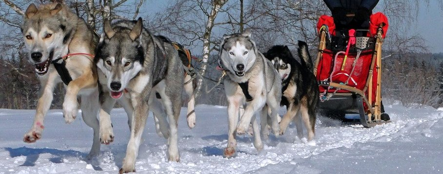 slideshow_siberian_Husky_team